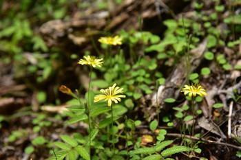 DSC_3955黄色い花.JPG
