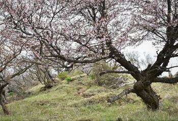 DSC_8144山桜1が迎えてくれた (2).JPG