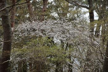 _DSC_78781525山桜のトンネル.JPG