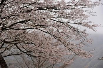 _DSC_78921542桜 (2).JPG