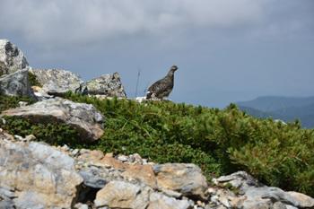 _DSC_9585_01北岳山荘の近くで雷鳥.JPG